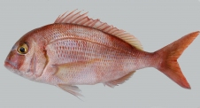 Red-porgy-Pagrus-pagrus